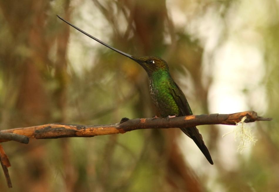 sword-billed hummingbird 0263