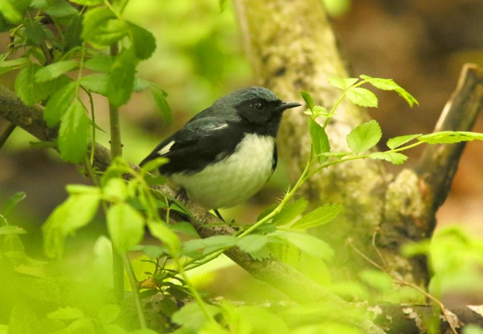 black-throated blue warbler 1123